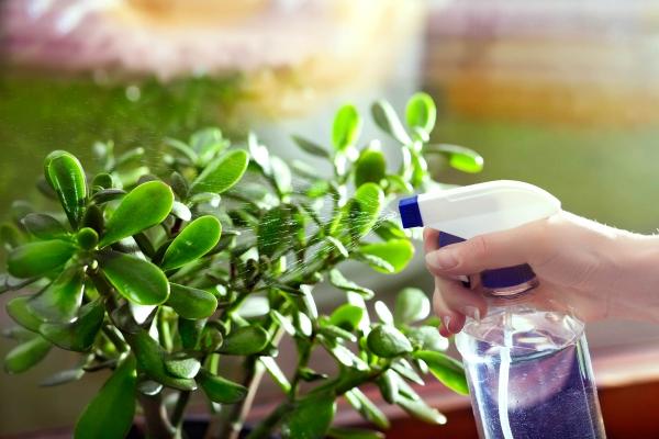 Συμβουλές φροντίδας δέντρων χρημάτων, ενδιαφέροντα γεγονότα και κανόνες του Φενγκ Σούι. Τα φυτά εσωτερικού χώρου νερού σωστά