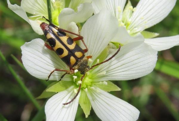 Venusfliegenfalle Pflege und Wissenswertes üben den exotischen Fleischfresser käfer auf blüte fliegenfalle