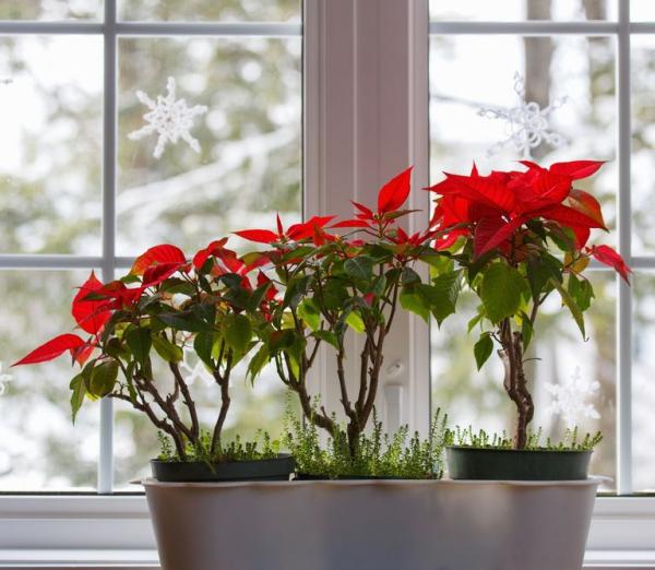 Weihnachtsstern Pflege - Tipps für eine gesunde Zierpflanze auch nach Weihnachten poinsettie am fenster stellen