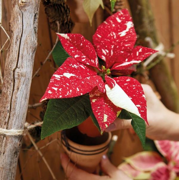 Weihnachtsstern Pflege - Tipps für eine gesunde Zierpflanze auch nach Weihnachten poinsettie mini umtopfen