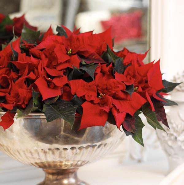 Weihnachtsstern Pflege - Tipps für eine gesunde Zierpflanze auch nach Weihnachten poinsettie schnittblume vase