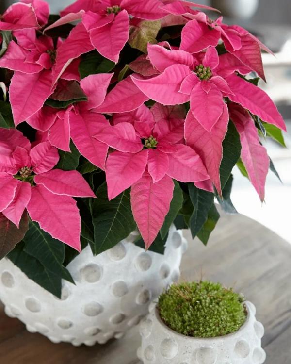 Weihnachtsstern Pflege - Tipps für eine gesunde Zierpflanze auch nach Weihnachten rosa sorte poinsettie