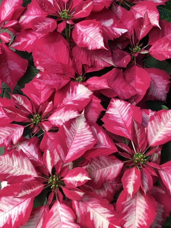 Weihnachtsstern Pflege - Tipps für eine gesunde Zierpflanze auch nach Weihnachten rosa weiß deko poinsettie schön
