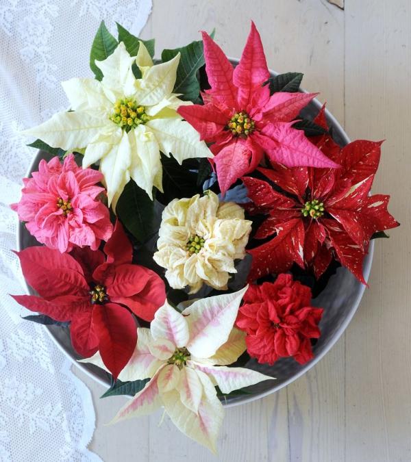 Weihnachtsstern Pflege - Tipps für eine gesunde Zierpflanze auch nach Weihnachten tischdeko verschiedene sorten