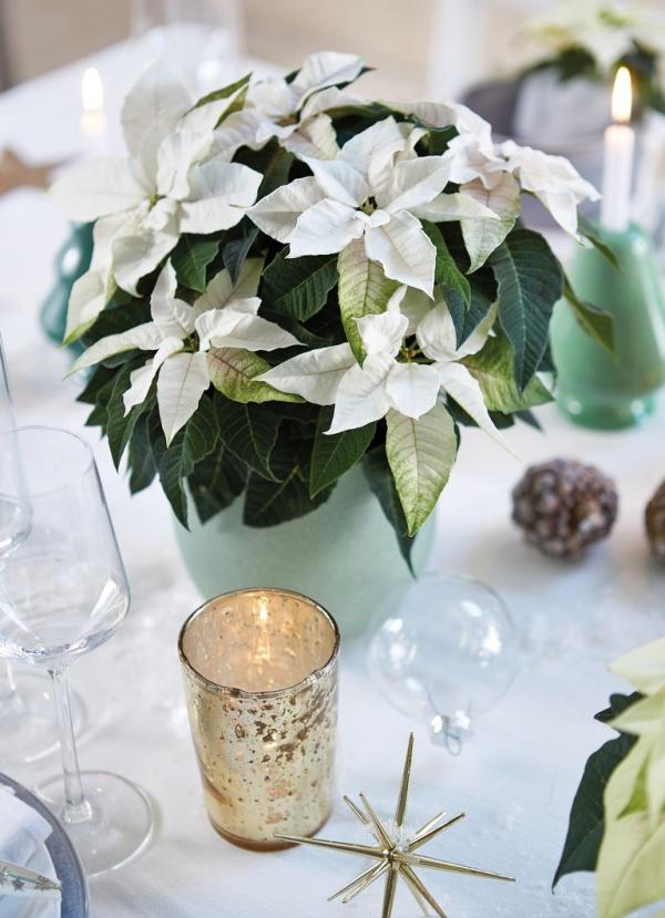 Weihnachtsstern Pflege - Tipps für eine gesunde Zierpflanze auch nach Weihnachten weiße poinsettie tischdeko