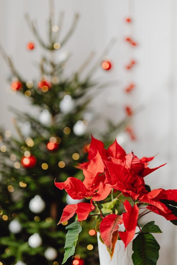 Weihnachtsstern Pflege - Tipps für eine gesunde Zierpflanze auch nach Weihnachten weihnachtsdeko poinsettie schön rot