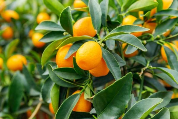 baum kumquat