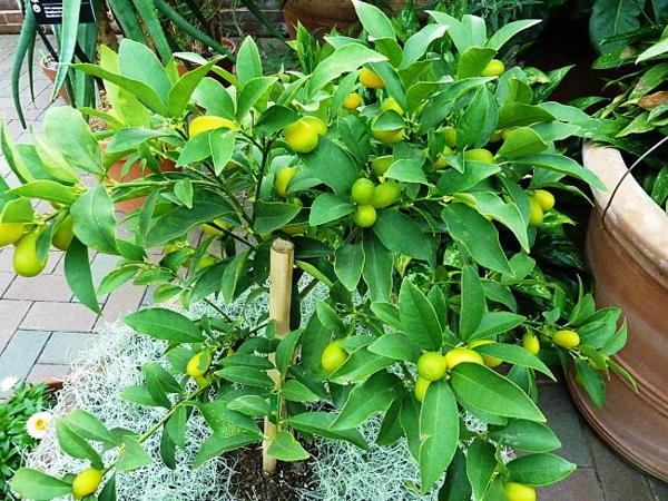 kumquat pflanze tipps