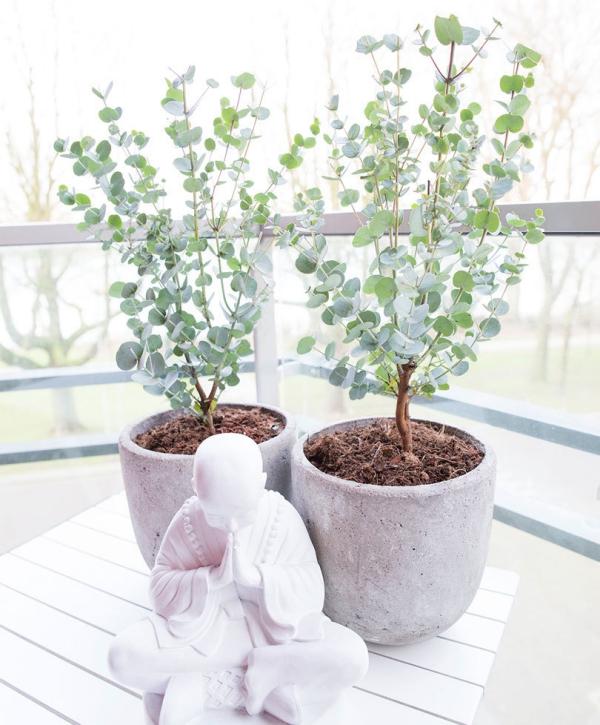 Eukalyptus Pflege Tipps für Hobbygärtner – puristische Zierpflanze im Überblick australische schönheit balkon pflanze