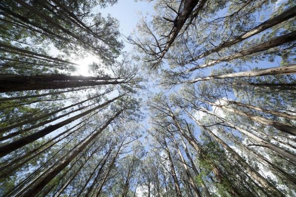 Eukalyptus Pflege Tipps für Hobbygärtner – puristische Zierpflanze im Überblick bäume in der natur australien