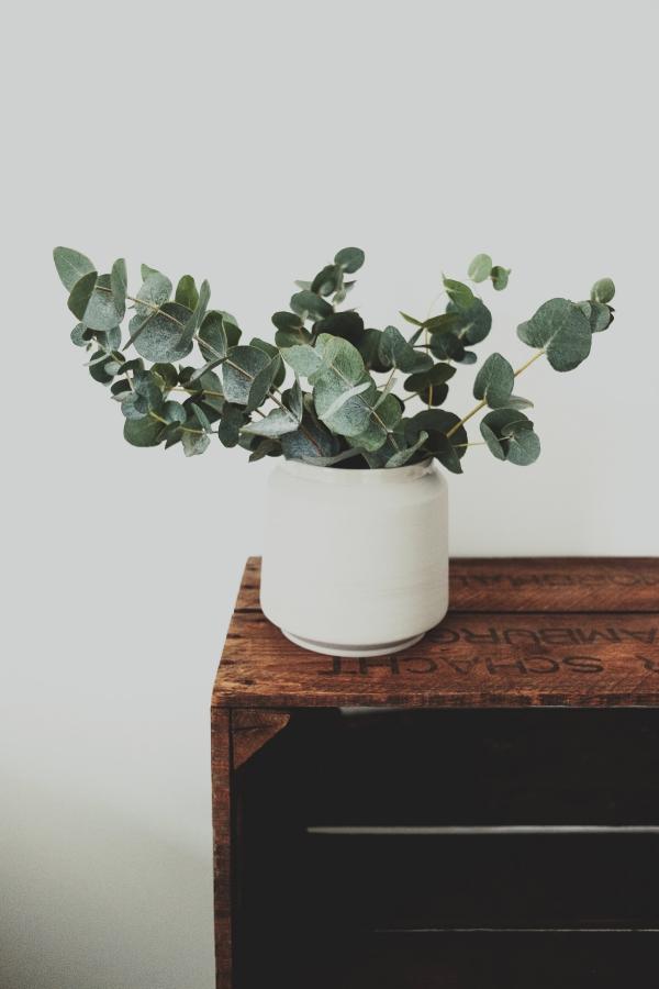 Eukalyptus Pflege Tipps für Hobbygärtner – puristische Zierpflanze im Überblick deko pflanze im topf weiß