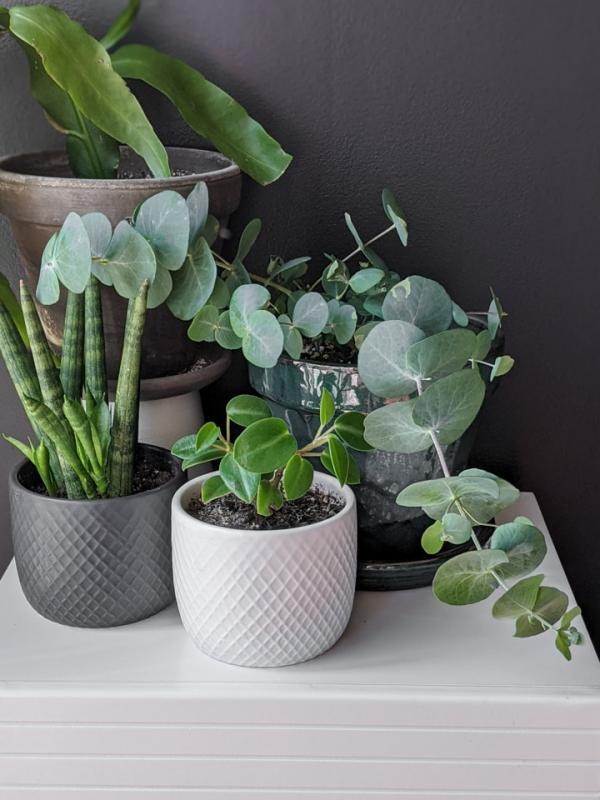 Eukalyptus Pflege Tipps für Hobbygärtner – puristische Zierpflanze im Überblick exotische pflanzen zu hause züchten