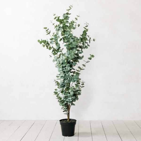 Eukalyptus Pflege Tipps für Hobbygärtner – puristische Zierpflanze im Überblick großes bäumchen in kleinem topf