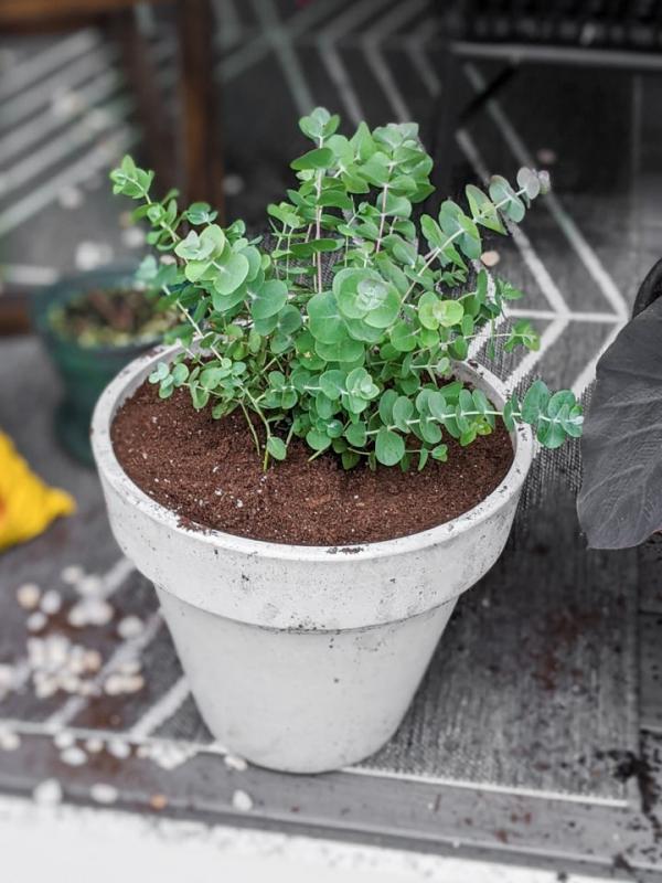 Eukalyptus Pflege Tipps für Hobbygärtner – puristische Zierpflanze im Überblick kleine sorte in blumentopf