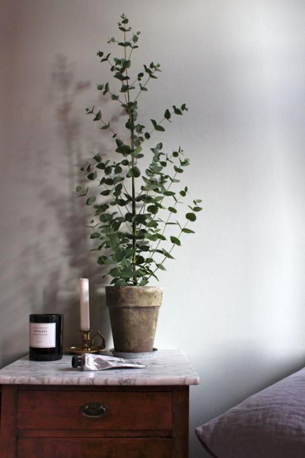 Eukalyptus Pflege Tipps für Hobbygärtner – puristische Zierpflanze im Überblick schlafzimmer deko ideen zimmerpflanze