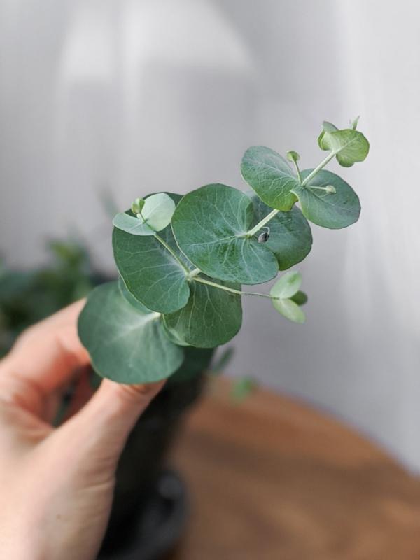 Eukalyptus Pflege Tipps für Hobbygärtner – puristische Zierpflanze im Überblick zweige blätter rund schön