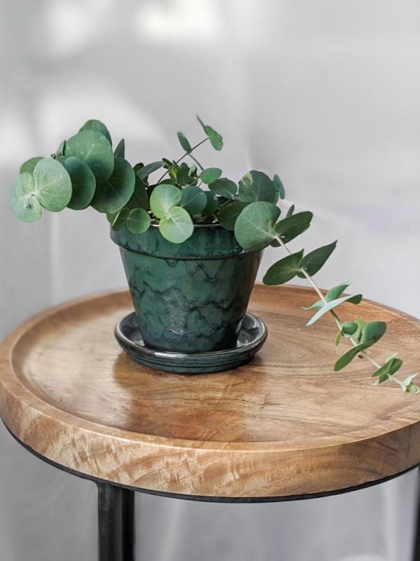 Eukalyptus Pflege Tipps für Hobbygärtner – puristische Zierpflanze im Überblick zweige topf schön zierlich