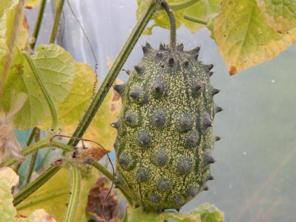 gesunde frucht kiwano