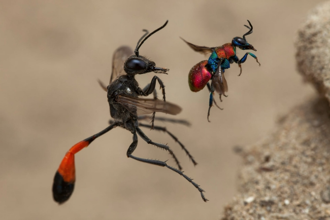 2020 Wildlife Photographer of The Year Sieger a tale of two wasps wespen