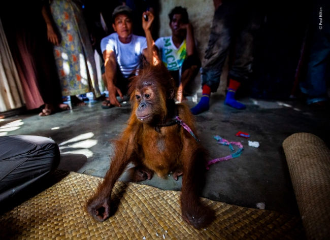 2020 Wildlife Photographer of The Year Sieger baby trade photojournalism