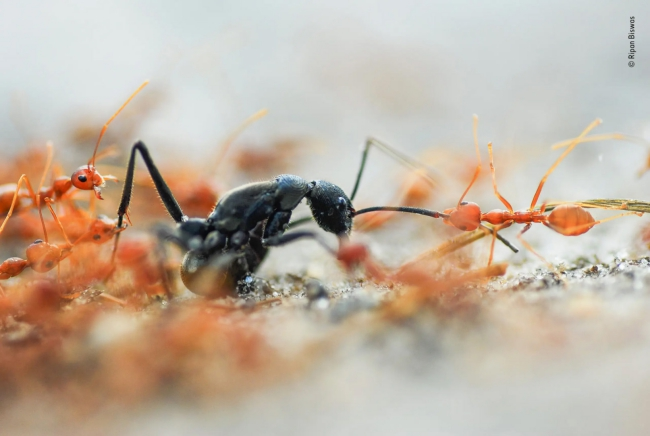 2020 Wildlife Photographer of The Year Sieger battle of the ants wildlife