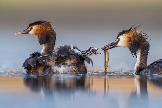 2020 Wildlife Photographer of The Year Sieger great crested sunrise vögel