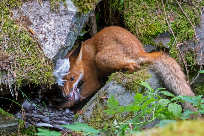 2020 Wildlife Photographer of The Year Sieger the fox that got the goose junge fotografen sieger