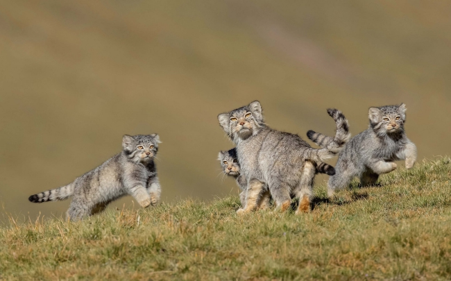 2020 Wildlife Photographer of The Year Sieger when mother says run wildkatzen