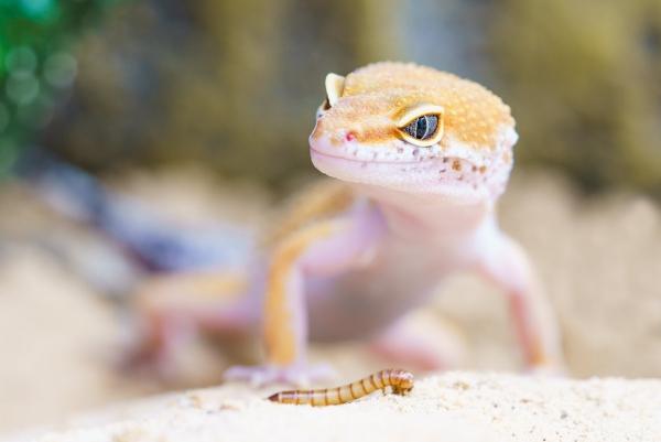 Artengerechte Leopardgecko Haltung – Tipps rund um die Terrarium Einrichtung und Pflege gecko fütterung wurm