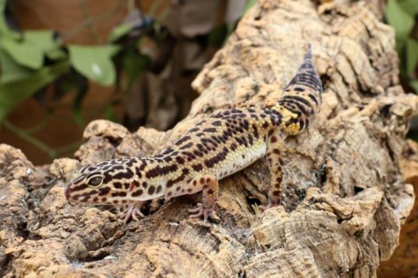 Artengerechte Leopardgecko Haltung – Tipps rund um die Terrarium Einrichtung und Pflege gecko klettert baum ast
