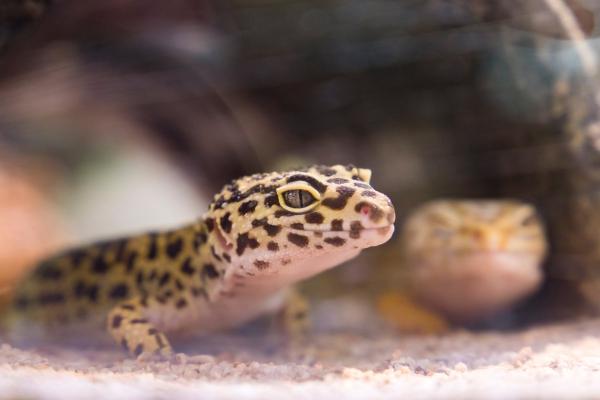 Artengerechte Leopardgecko Haltung – Tipps rund um die Terrarium Einrichtung und Pflege gecko paar in höhle