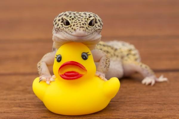 Artengerechte Leopardgecko Haltung – Tipps rund um die Terrarium Einrichtung und Pflege gecko spielt mit gummi ente