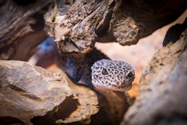 Artengerechte Leopardgecko Haltung – Tipps rund um die Terrarium Einrichtung und Pflege geckos in der natur