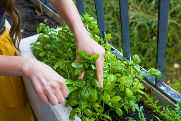 Basilikum Pflege im Topf und im Garten – aromatische Kräuter das ganze Jahr über balkon pflanzen kräuter topf