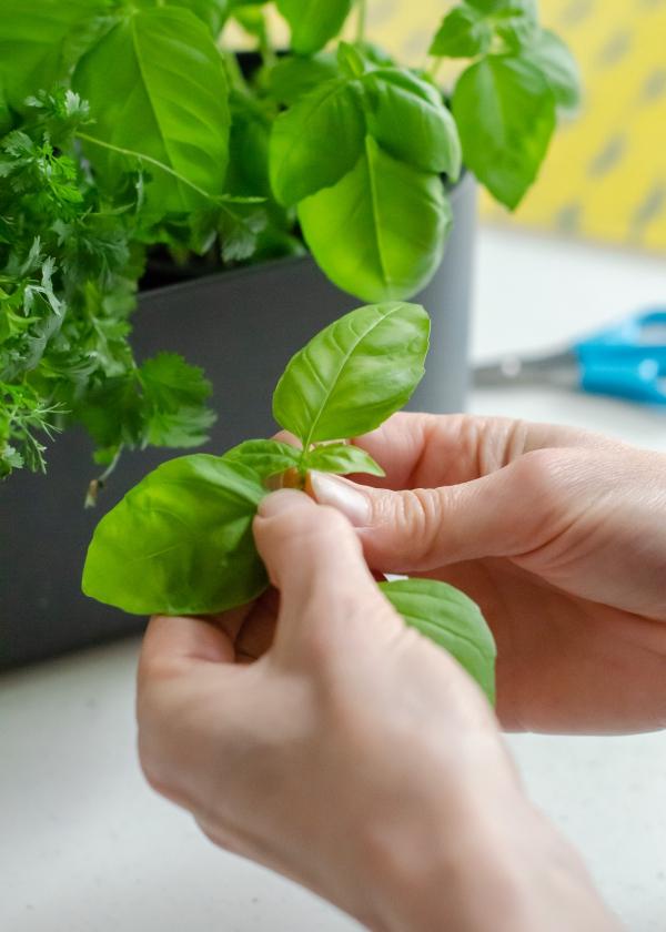 Basilikum Pflege im Topf und im Garten – aromatische Kräuter das ganze Jahr über basilikum und andere kräuter ernten