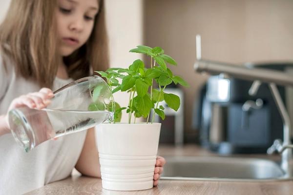 Basilikum Pflege im Topf und im Garten – aromatische Kräuter das ganze Jahr über einfache kräuter pflege kinder
