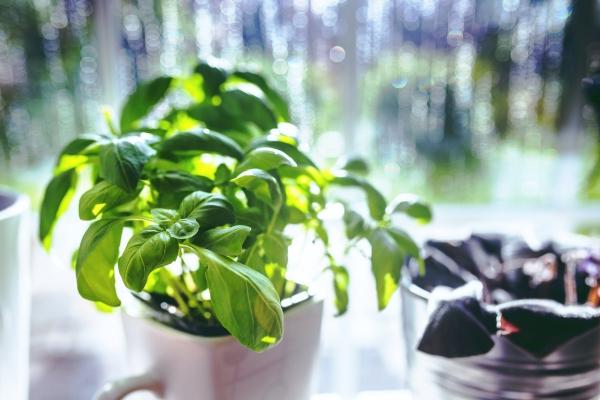 Basilikum Pflege im Topf und im Garten – aromatische Kräuter das ganze Jahr über fensterbank kräuter garten