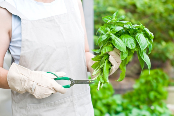 Basilikum Pflege im Topf und im Garten – aromatische Kräuter das ganze Jahr über kräuter richtig ernten und trimmen