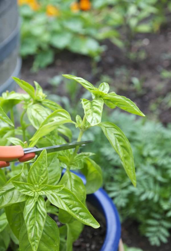Basilikum Pflege im Topf und im Garten – aromatische Kräuter das ganze Jahr über kräuter richtig trimmen
