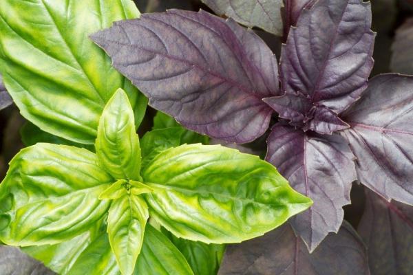 Basilikum Pflege im Topf und im Garten – aromatische Kräuter das ganze Jahr über kräuter sorten grün rot