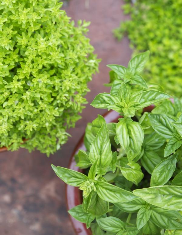 Basilikum Pflege im Topf und im Garten – aromatische Kräuter das ganze Jahr über kräuter sorten schön aromatisch