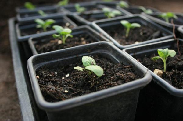 Basilikum Pflege im Topf und im Garten – aromatische Kräuter das ganze Jahr über samen pflanzen starter