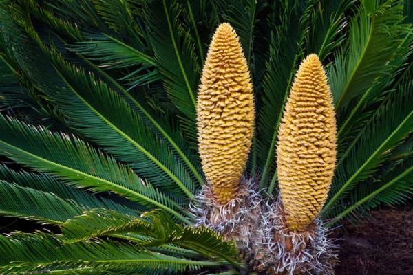 Cycas Sagopalme Blütenstände Vorsicht giftig