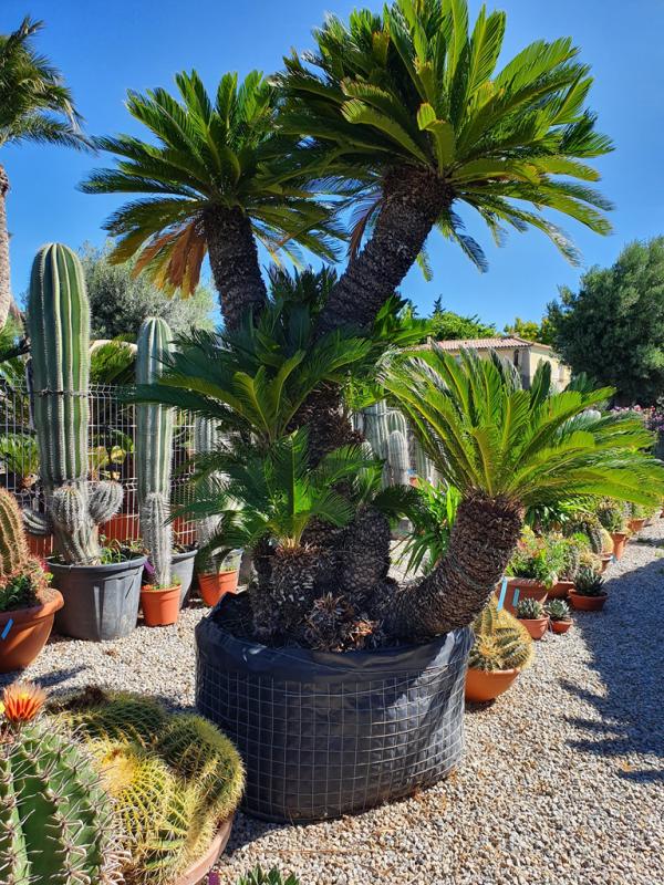 Cycas Sagopalme drinnen ein toller Hingucker echte Exotin zu Hause