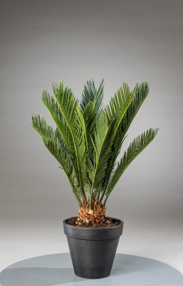 Cycas Sagopalme gutes Wachstum im Topf im Hause schöne immergrüne gefiederte Blätter