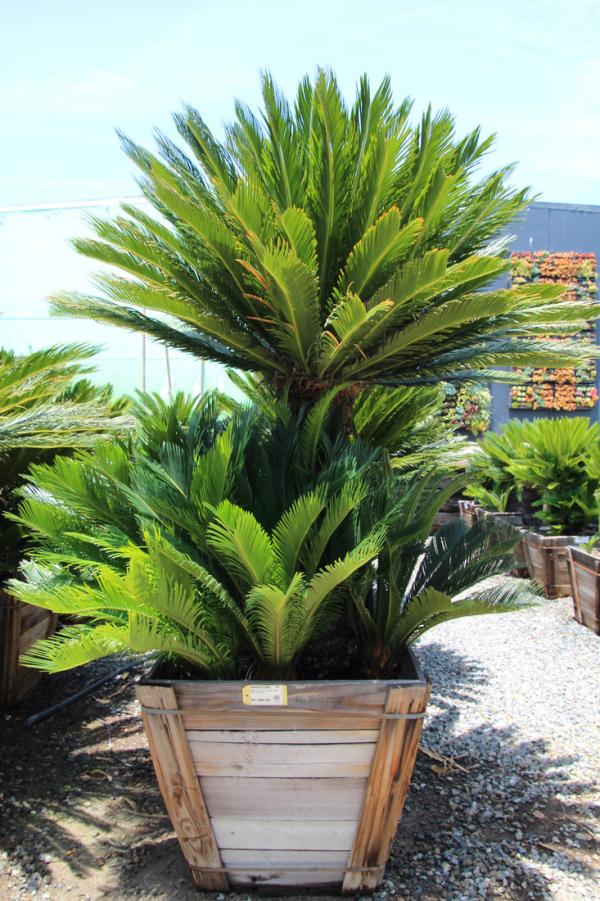 Cycas Sagopalme nötige Wachstumsbedingungen sehr hoch wachsen attraktiv aussehen