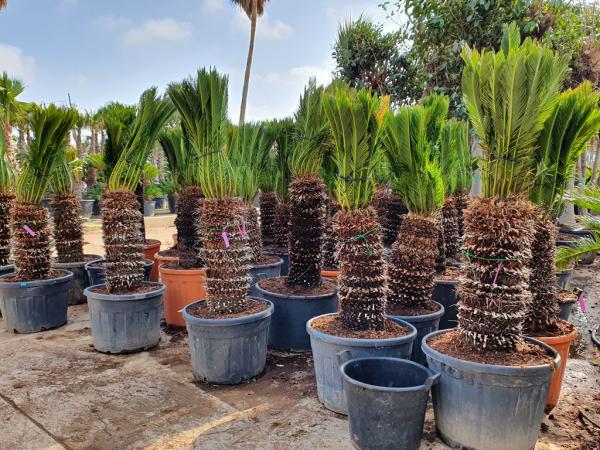 Cycas Sagopalmen viele Pflanzen in Kübeln Vorbereitung für Überwintern draußen