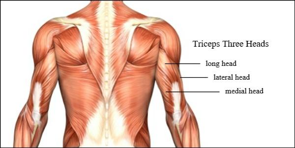 Einfache Trizeps Übungen, die Sie auch zu Hause machen können muskeln anatomie drei köpfe