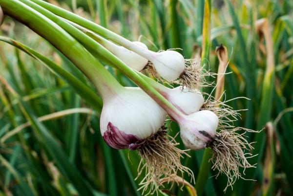 Gesundes Essen in Corona Zeiten Knoblauch im Garten anbauen Naturmittel gegen Viren