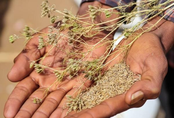 Kreuzkümmeltee zubereiten Kreuzkümmelpflanze gesundheitliche Vorteile